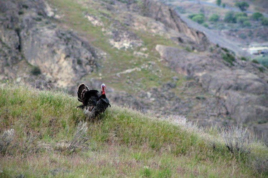 Wild Turkey on the Ridge