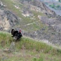Wild Turkey on the Ridge