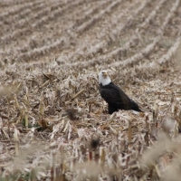 Eagle in a Field